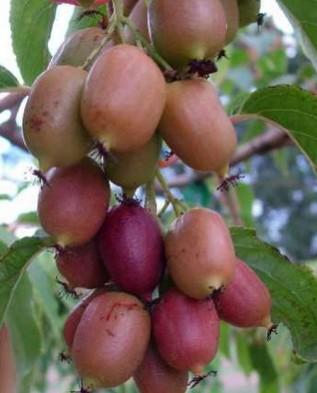 сладкие плоды актинидии