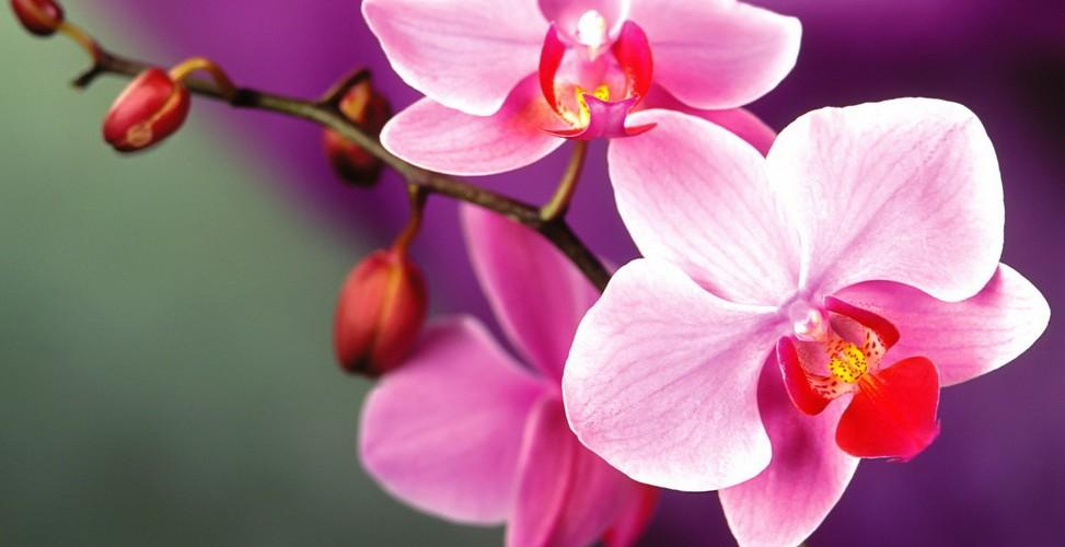 Уход за строптивыми орхидеями