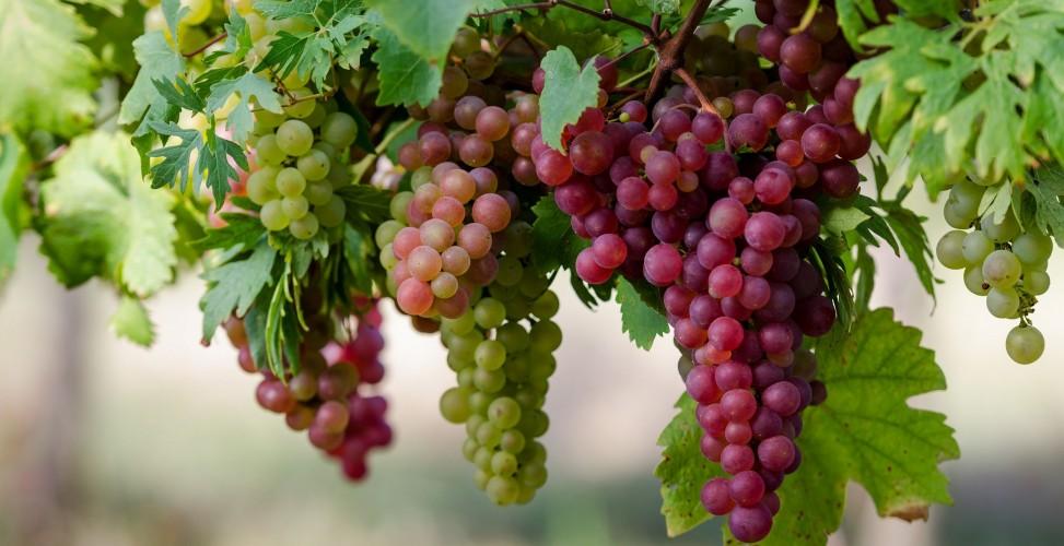 Весенняя посадка винограда