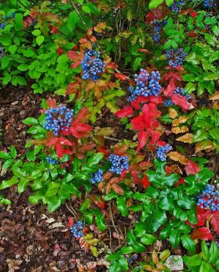 плоды магония осенью
