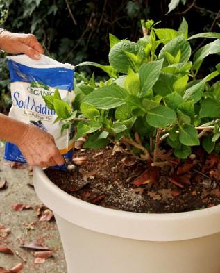Можно ли выращивать гортензию метельчатую дома в горшке?