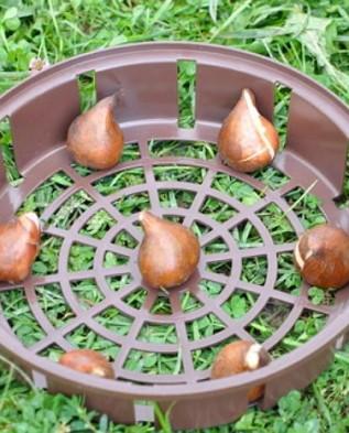 размещаем луковицы по кругу