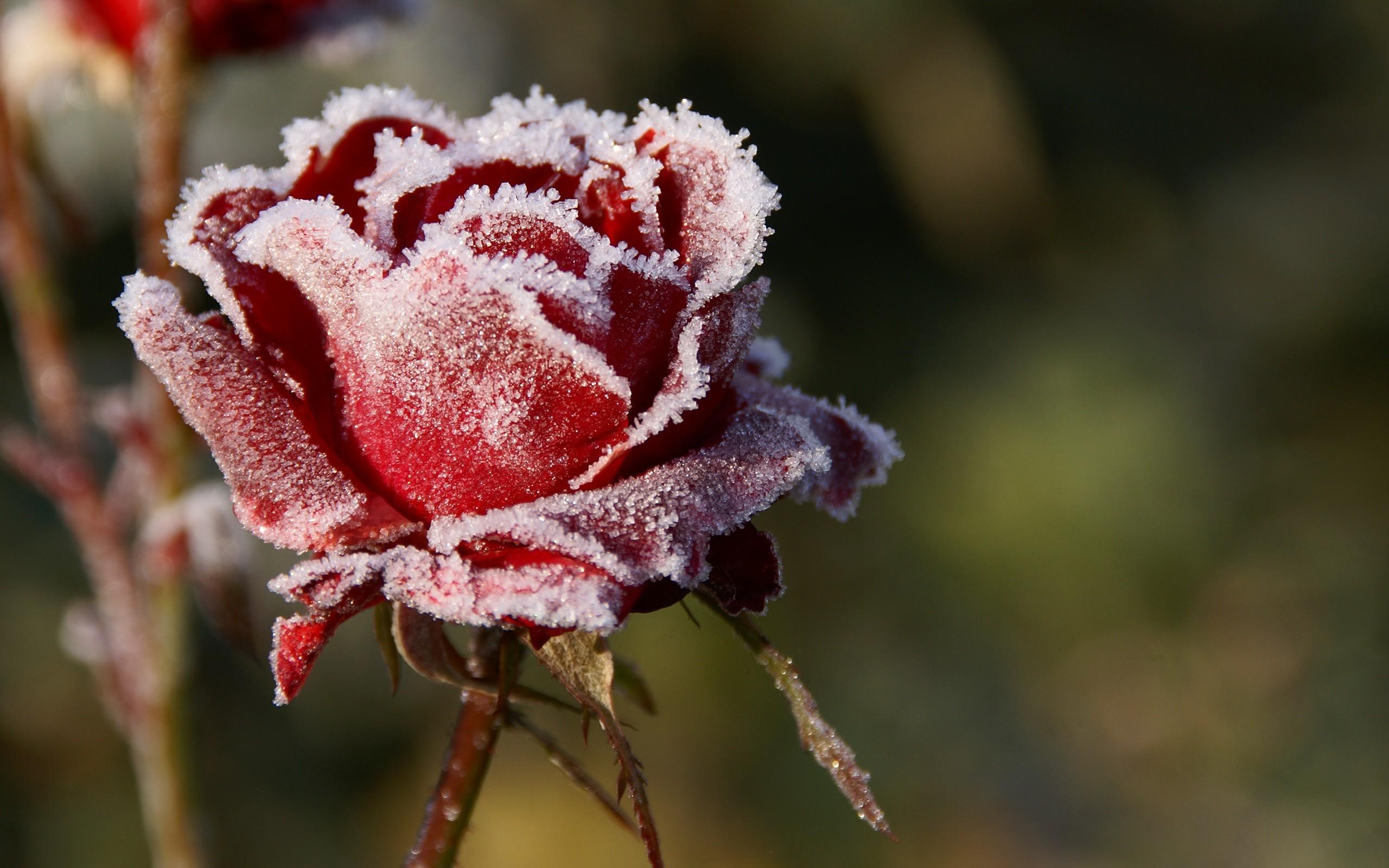 Готовим розы на зиму