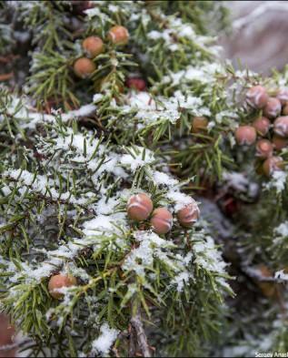 ветки можжевельника  в снегу