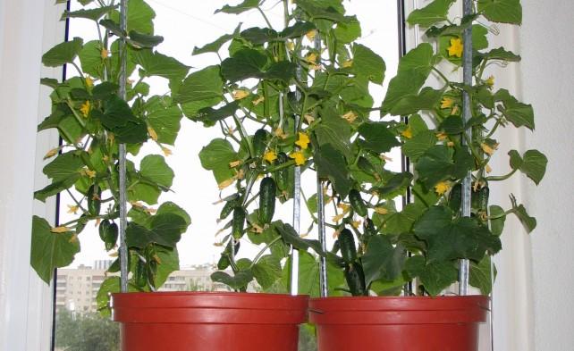 Выращивание огурцов не в горшке 829