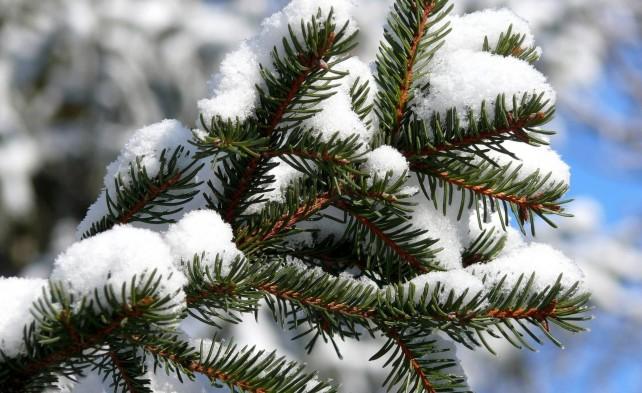 ветки хвои под снегом