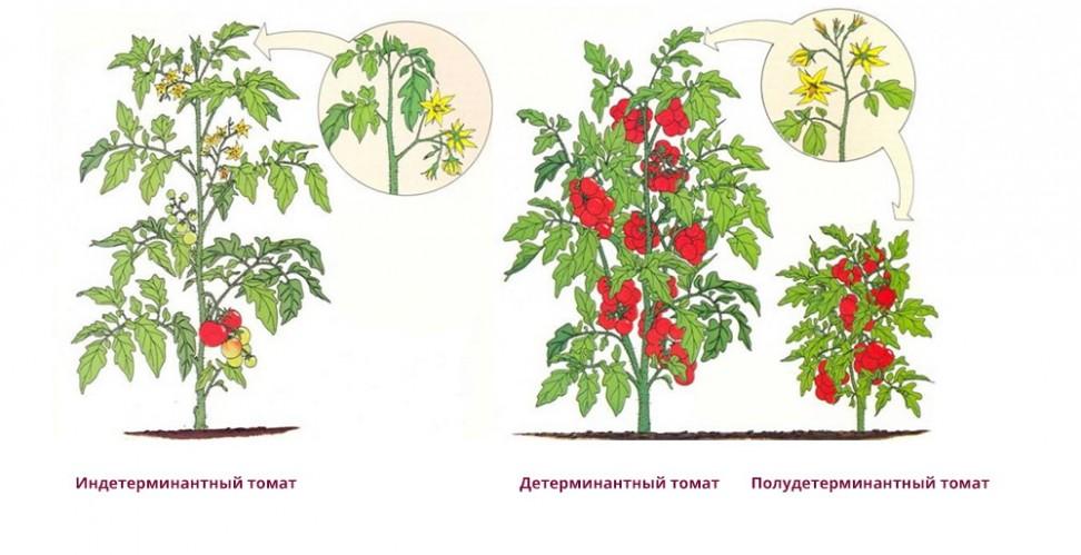 Как известно, цветки томата
