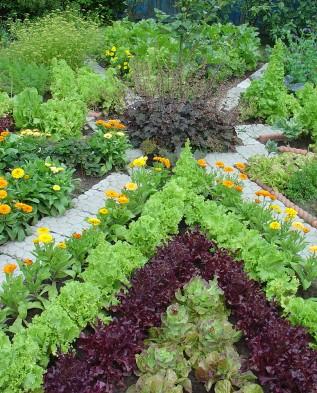 огород с бордюми из календулы