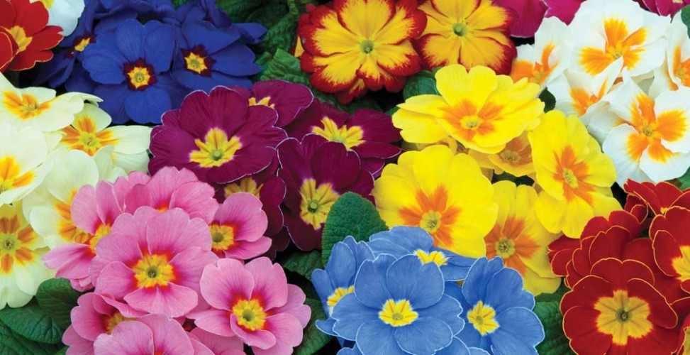Первоцвет или Примула. В
