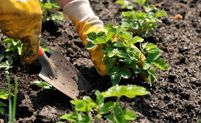 посадка  рассады земляники садовой