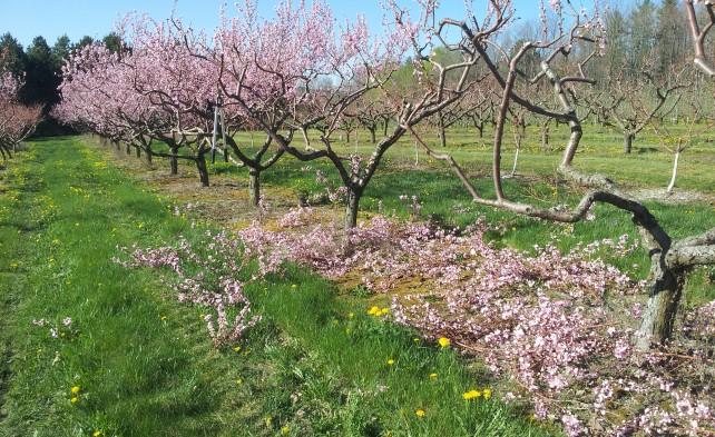 обрезка персика по розовому
