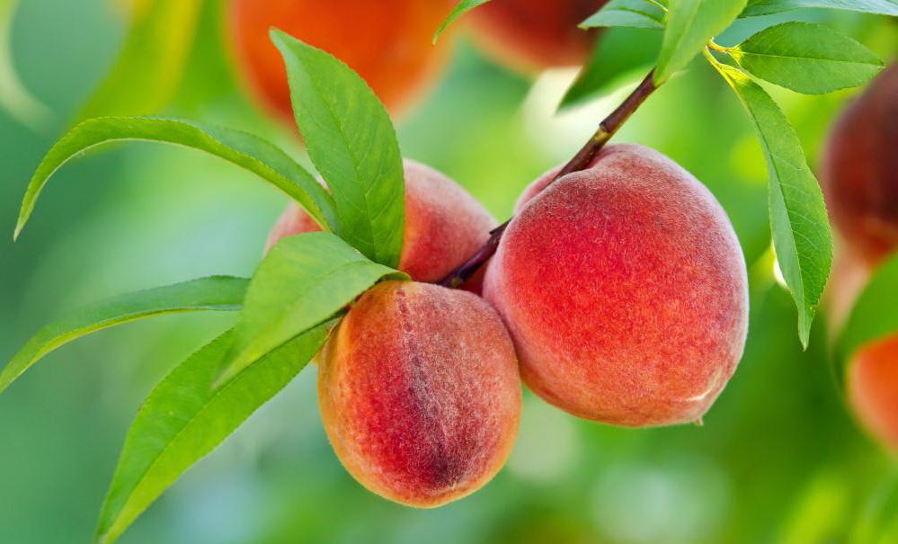 Как правильно выращивать персик