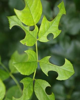листья после пчелы -листореза