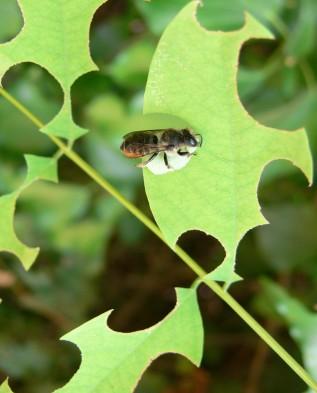 пчела мегахила повреждает листья