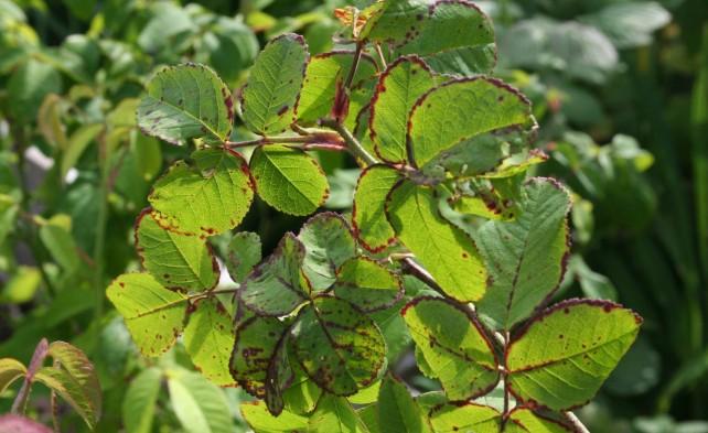 полосатость листьев