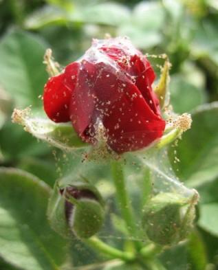 роза заражённая паутинным клещём
