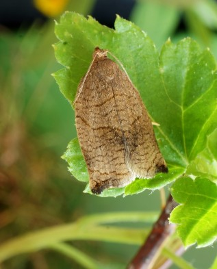 бабочка (Archips rosana)