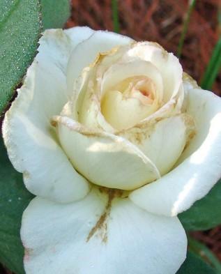 роза заражённая трипсами