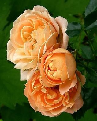 Amber Queen (Амбер квин) флорибунда