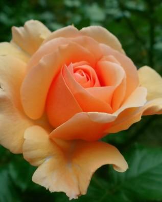Apricot (Априкот) чайногрбридная
