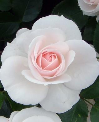 Aspirin rose (Аспирин) флорибунда