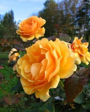 Bernstein Rose (Берштейн) флорибунда