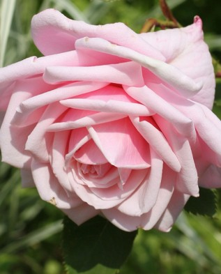 Blossomtime (Блоссомтайм)