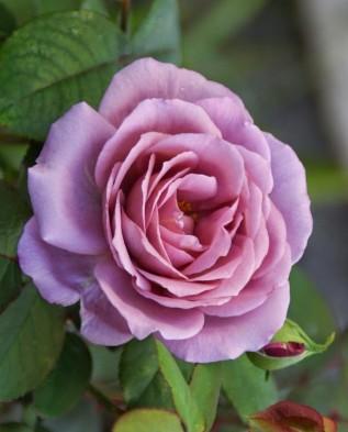Lavender Jewel