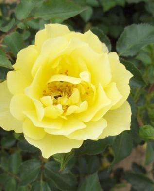 Limesgold (Лаймесголд) почвопокровная