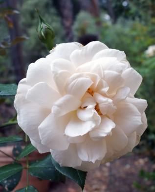Lions Rose (Лион Роза) флорибунда