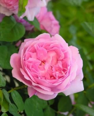 Mary Rose (Мари Роуз)
