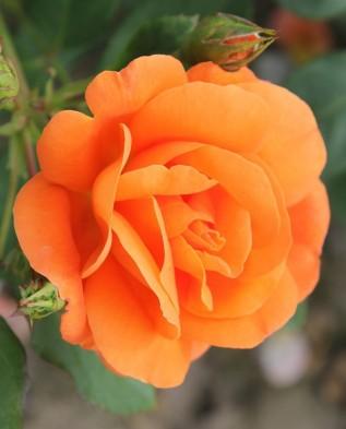 Orange Dawn (Оранж Даун) шраб