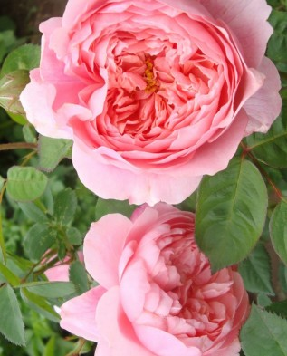 The Alnwick Rose (Алнвик Роуз)