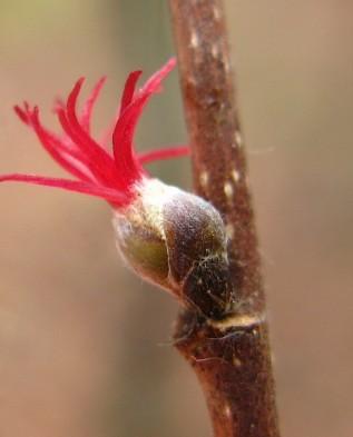 женский цветок фундука