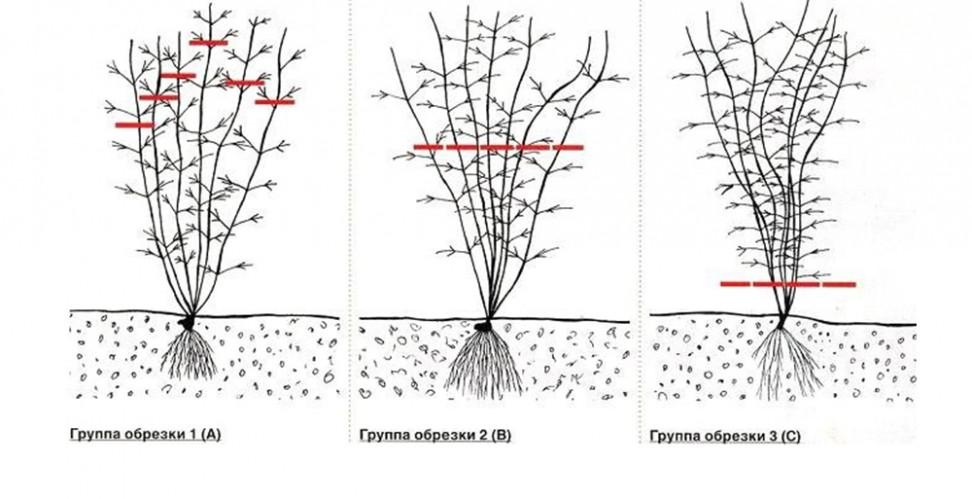 классификация клематисов по группе обрезки