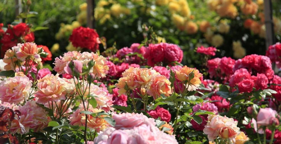 Новинки роз