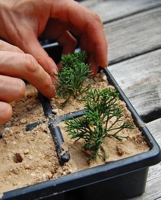 Где и как выращивать можжевельник. Обсуждение на LiveInternet - Российский Сервис Онлайн-Дневников