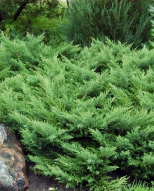 Juniperus sabina 'Rockery Gem'