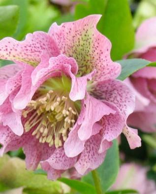 Цветы в саду морозник купить подарок на 55 летие мужчине