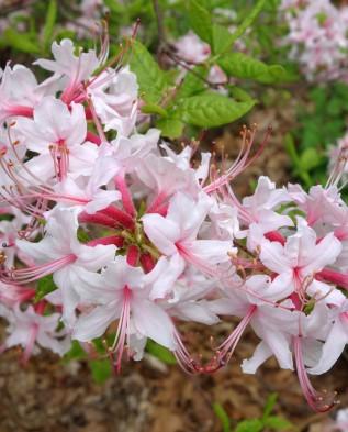 рододендрон голоцветковый