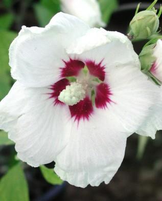 150 graines ketmie hibiscus vivace red heart hibiscus for Arrosage hibiscus exterieur