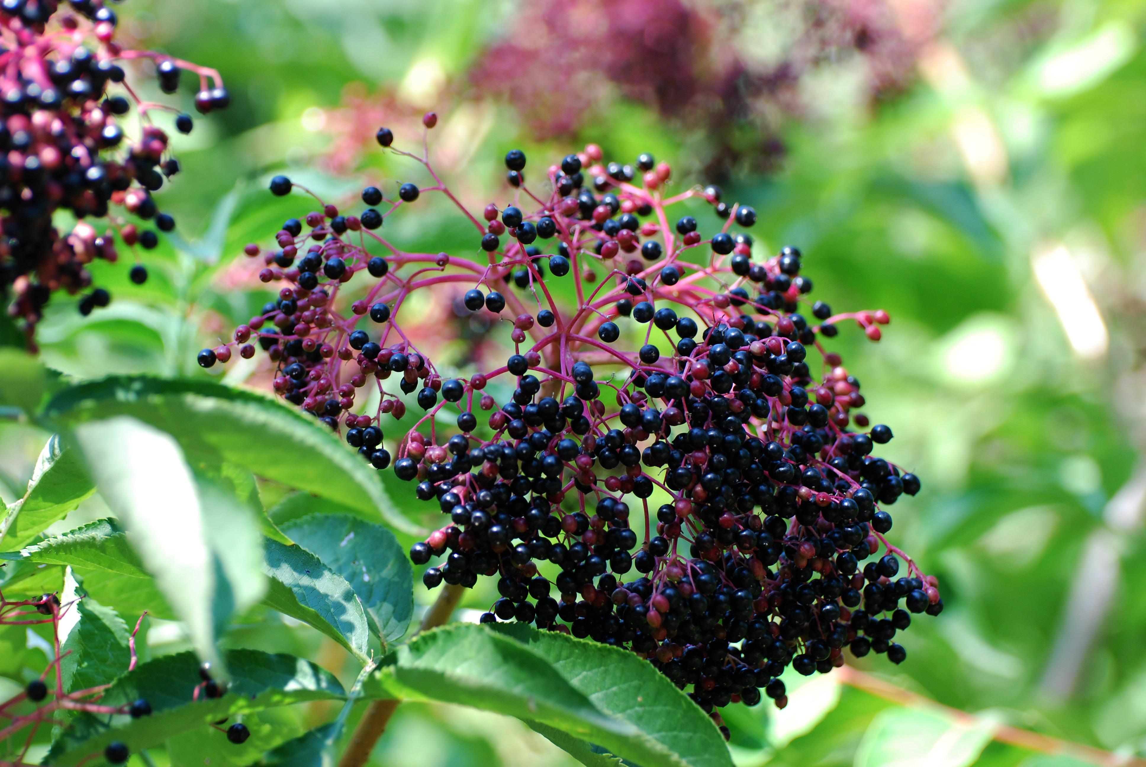 Бузина черная: размножение, посадка и уход в открытом грунте, описание и фото