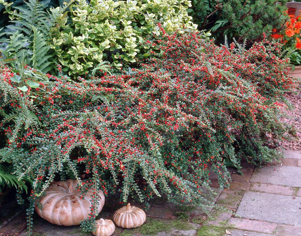 Выращиваем горизонтальный кизильник в саду
