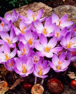Пряности и специи. Выращивание шафрана 3) Из чего выращивают крокусы