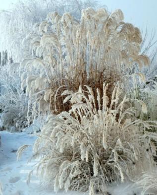 Miscanthus sacchariflonis зимой