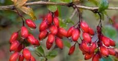 Барбарис плодовый