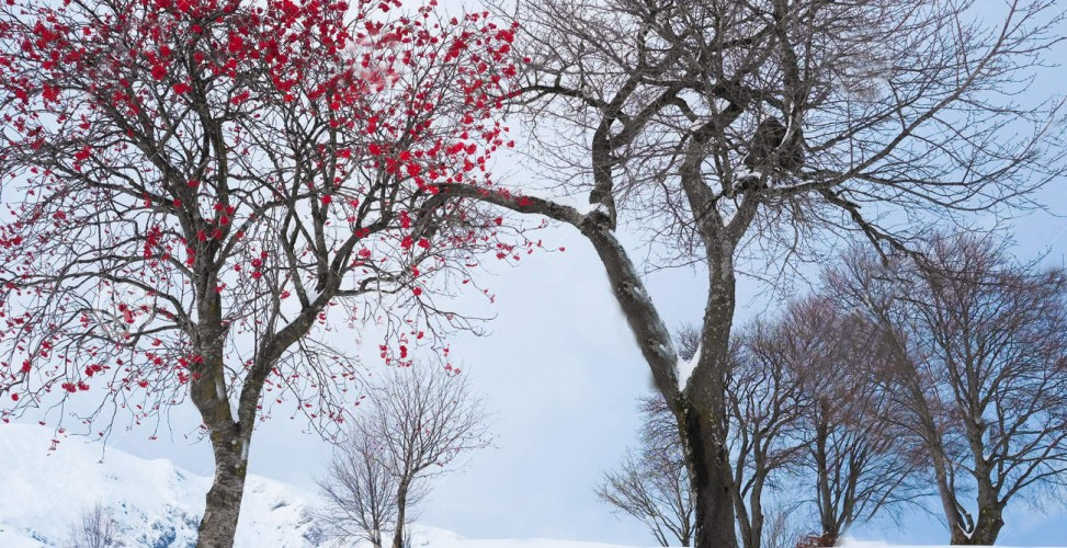 плоды клена зимой