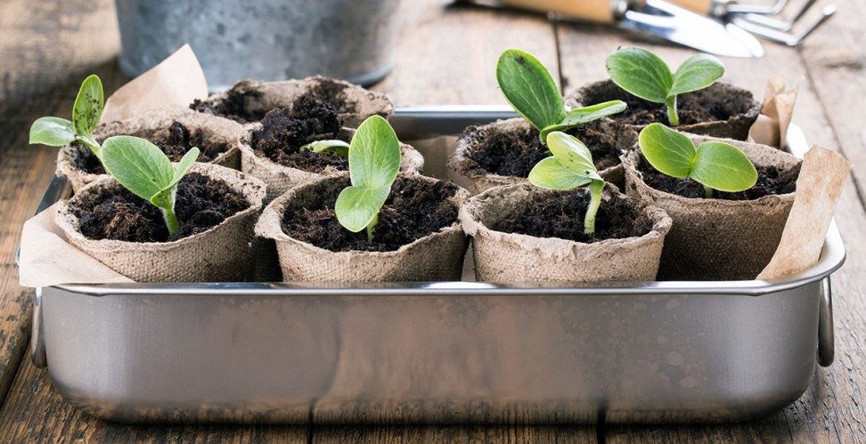 как долго прорастают семена астры на рассаду