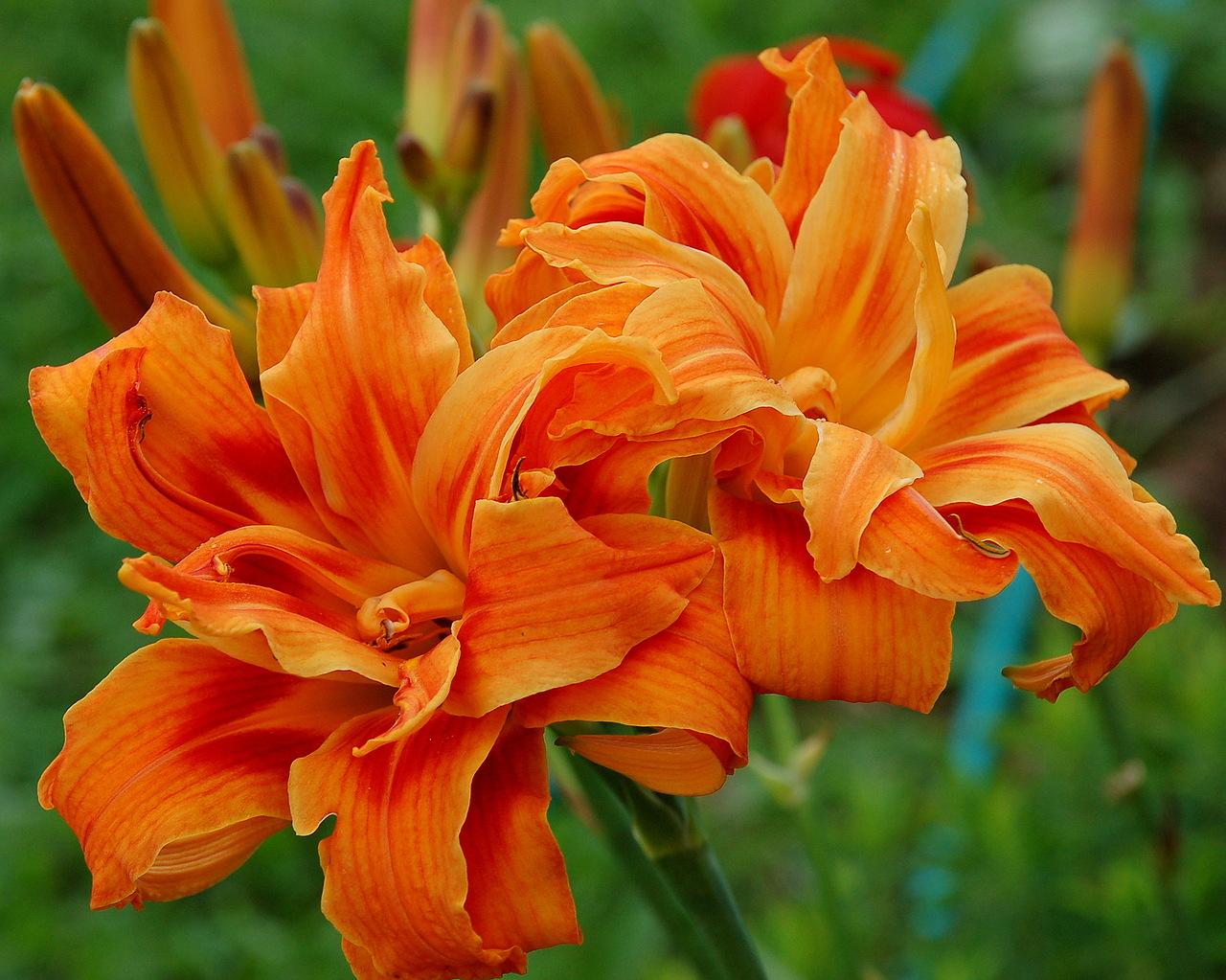 Лилейник — посадка, выращивание, уход и размножение лилейников