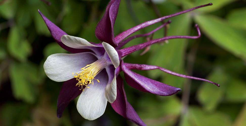 Цветок аквилегия посадка и уход, фото, выращивание из семян 3